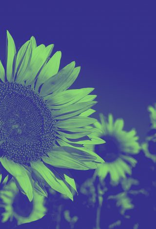 A photograph of sunflowers, colourised in green and blue